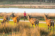 UNITED KINGDOM, London: 05 April 2018 A jogger runs past a small group of red deer this morning at Richmond Park. After a miserable week of rain, the sun is set to shine throughout the day. Rick Findler / Story Picture Agency