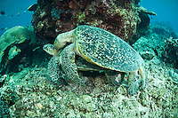 Mating green turtles, Sipdan, Sabah, Malaysia.  The male is on top of the female.