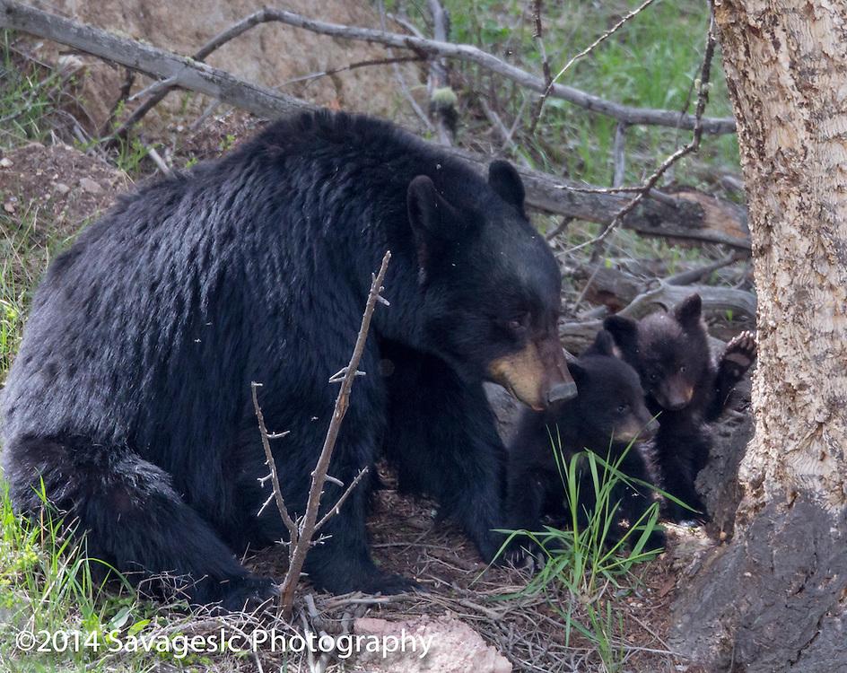Black bear cubs sharing a secret.