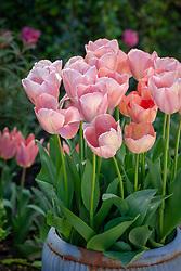 Tulipa 'Mystic van Eijk' in a metal container