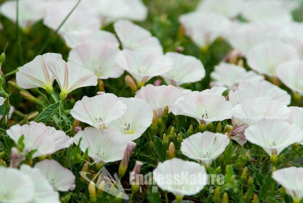 Evening Primrose is a western valley flower that starts out white and then turns a pinkish color.
