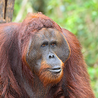 Adult males have large cheek flaps (which get larger as the ape ages that show their dominance to other males and their readiness to mate.