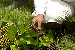 Hawaii: Molokai, Halawa Valley, young taro plant, with hike in past taro fields, ancient walls, to waterfalls, guided by Lawrence Aki..Photo himolo230-72028..Photo copyright Lee Foster, www.fostertravel.com, lee@fostertravel.com, 510-549-2202