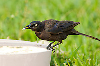 Common Grackle (Quiscalus quiscula), on bird feeder in garden, Wellington, Florida, USA   Photo: Peter Llewellyn