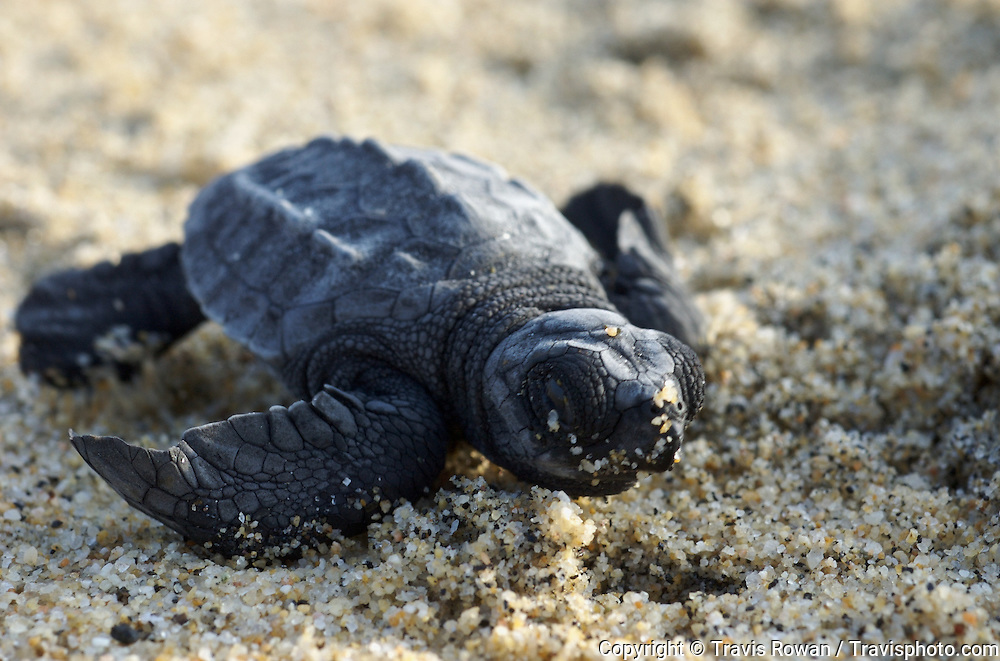 A newly hatched sea turtle on a beach in Mexico. Eastern Pacific Green Turtle known locally as the Black Sea Turtle Chelonia mydas agassizii
