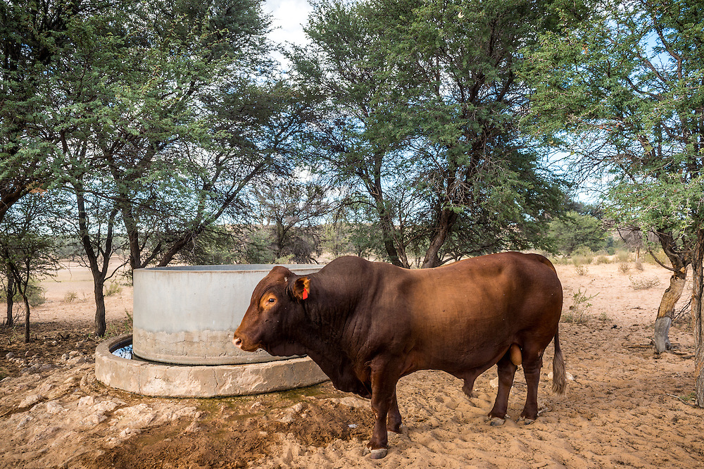 Namibia - Cows on farm in Africa, Bosmara Bull