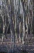Dense trees woodland saplings, Suffolk, England