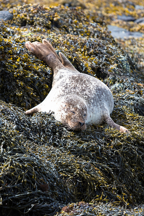 Common Seal or Harbour Seal, Phoca vitulina, adult basking and sleeping on rocks and seaweed by Dunvegan Loch, Isle of Skye, Western Scotland