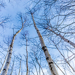 Paper birch trees at Loon Echo Land Trust's Bald Pate Mountain Preserve in South Bridgton, Maine.