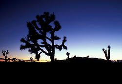 Joshua Tree NP, CA. Joshua Trees, Yucca brevifolia.  After sunset in Queen Valley.