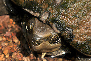 A Sonoran Mud Turtle, (Kinosternon sonoriense sonoriense), an endangered species, sits in a stream in Gardner Canyon, along the Arizona Trail, Santa Rita Mountains, Coronado National Forest, Sonoran Desert, near Sonoita, Arizona, USA.