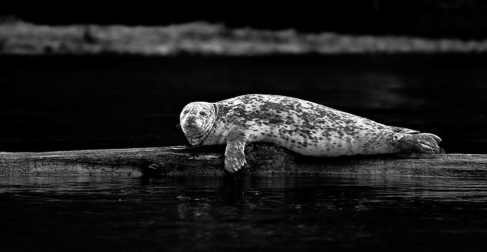 Harbor Seal monochrome