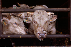 Farming - Agriculture - Livestock - Harvest - Cattle - Cow - Beef