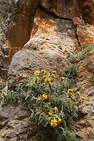 Jerusalem Sage (Phlomis cretica),  Imbros Gorge, Crete