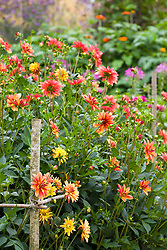 The cutting garden in late summer with Dahlia 'Jescot Julie' and D. 'Indian Summer' in the foreground