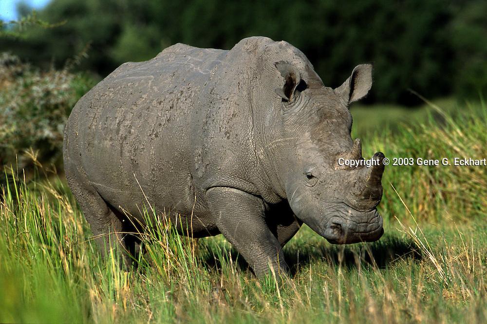 Square-Lipped Rhinoceros (Ceratotherium simum)  -  Mombo - Okavango Delta - Botswana <br /> <br /> Square-Lipped (a.k.a. White) Rhinoceros (Ceratotherium simum) - Mombo - Okavango Delta - Botswana