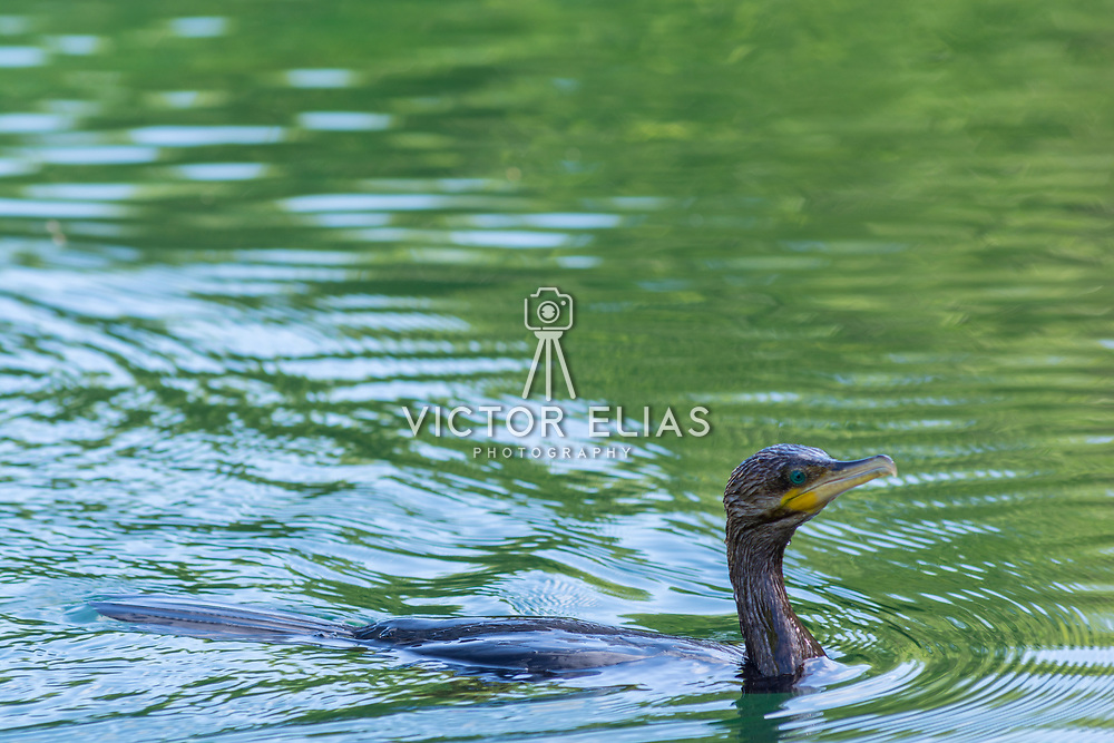 Anhinga preparing to dive for food. Banyan Tree Mayakoba. Riviera Maya. Quintana Roo, Mexico.
