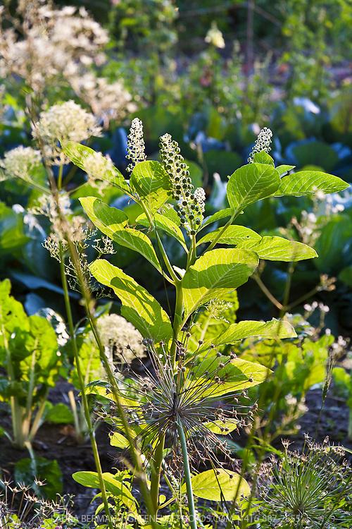 Pokeweed (Phytolacca americana) a native North American perennial.