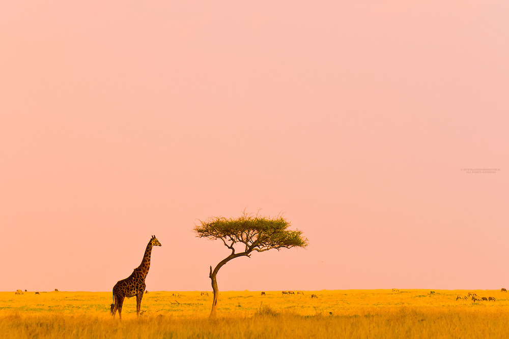 Giraffe and acacia tree, Masai Mara National Reserve, Kenya
