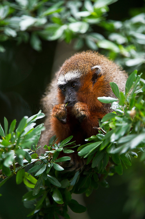 Red Titi Monkey (Callicebus discolor) CAPTIVE <br /> Yasuni National Park, Amazon Rainforest<br /> ECUADOR. South America<br /> HABITAT &amp; RANGE: Range of forest types from Colombia, Ecuador and Peru.