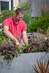 Planting out summer bedding - petunias - into a raised trough