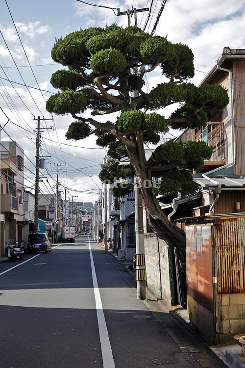 single tree growing by the street Yokosuka Japan