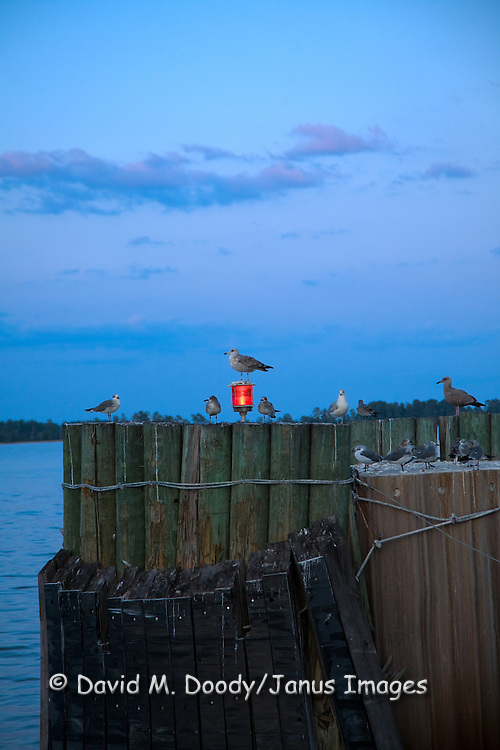 Gulls sitting on the pilings at Jamestown-Scotland Ferry Wharf on the South side of the James River at Scotland, Virginia at dusk  with moon rising in backround October 1, 2009