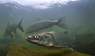 Inconnu<br /> <br /> Paul Vecsei/Engbretson Underwater Photography