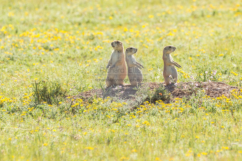 A small coterie of Black tailed Prairie Dogs looks out from their burrow in a colony occupying a suburban field in Cheyenne, Wyoming.