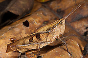 Dead-leaf Grasshopper (Acrididae)<br /> Yasuni National Park, Amazon Rainforest<br /> ECUADOR. South America