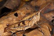 Dead-leaf Grasshopper (Acrididae)<br /> Yasuni National Park, Amazon Rainforest<br /> ECUADOR. South America