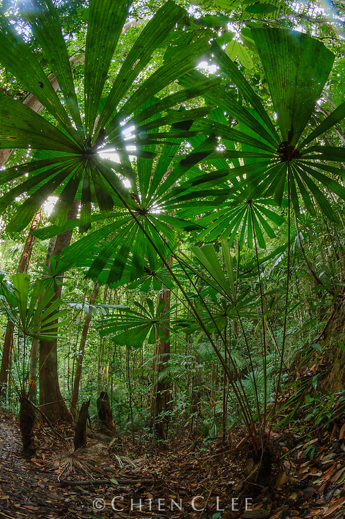 A fan palm (Licuala valida) reaches towards the light in the understory of the Borneo rainforest. Sarawak, Malaysia.