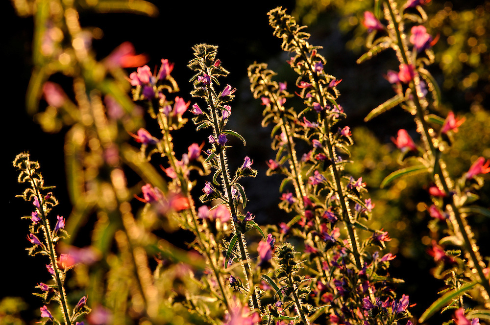 France, Languedoc Roussillon, Gard (30), Cevennes, fleur de Vipérine commune, N.L.: Echium vulgare, (Borraginacées)