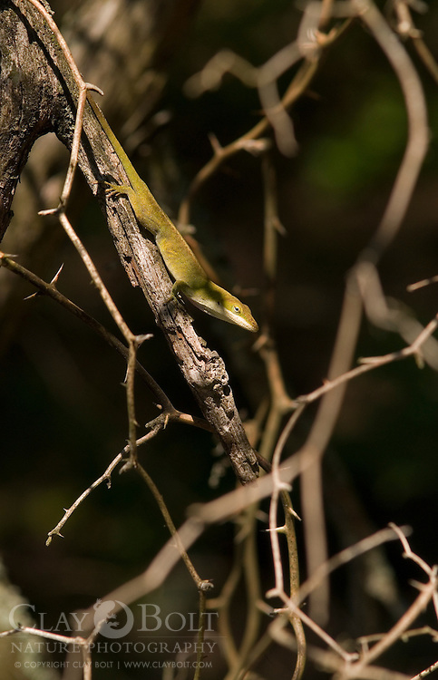 Green Anoles (Anolis carolinensis) are sometimes called chameleons because of their ability to change color to match their background or mood. Although they don't posess the ability to adopt as many hues as many chameleons, their colors range from green to brown. Males display by extended red flaps of skin beneath their chins called dewlaps.