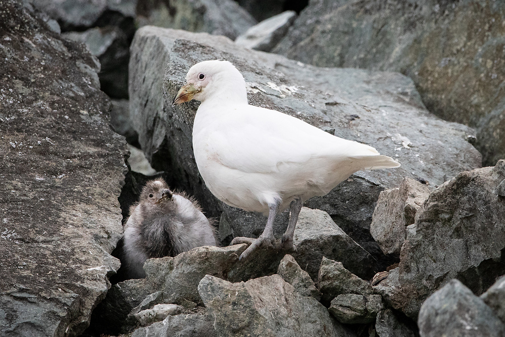 Chionis albus, Antartica, February 2019. Audlt and chick at nest.