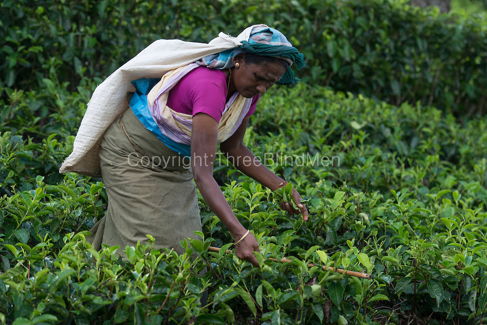 Picking tea on Dambatenne estate. near Haputale.