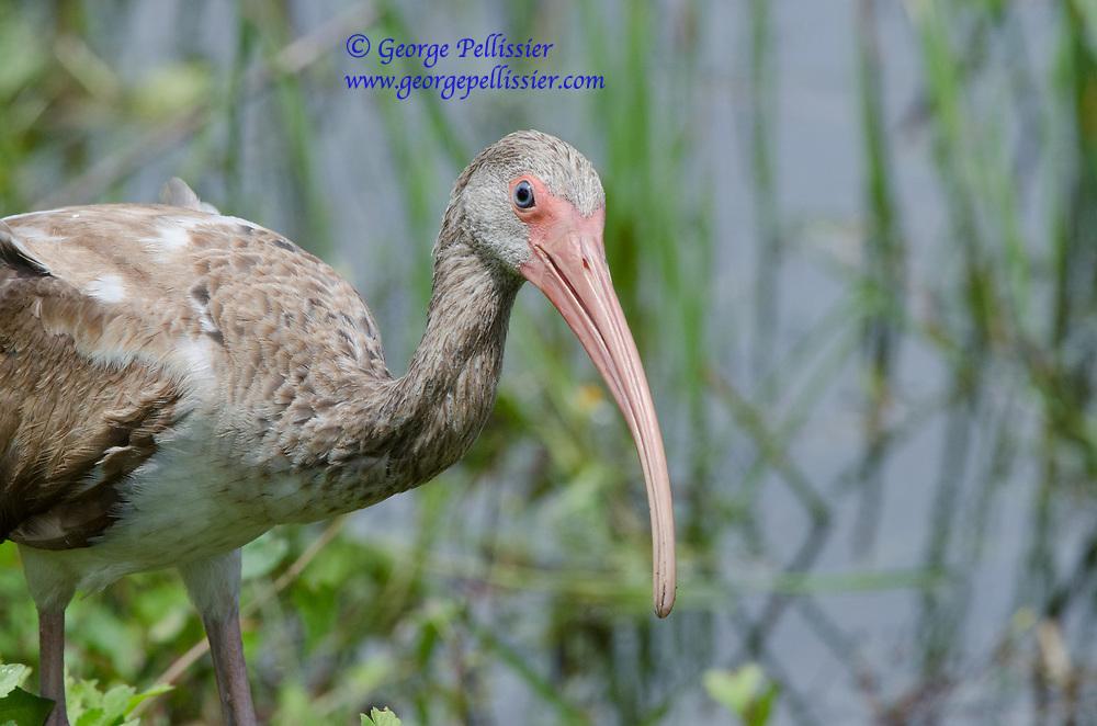 A juvenile Ibis eyes me warily in Everglades National Park, Florida.