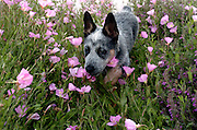 A 10-week-old Queensland Blue Heeler / Australian Cattle Dog puppy named Jazz at home.