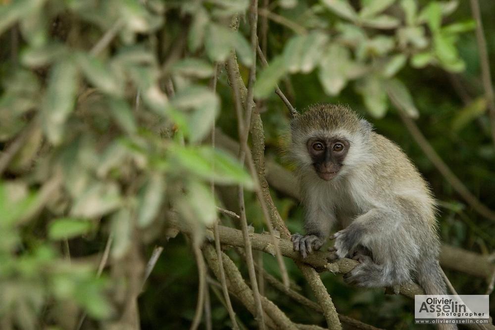 Velvet monkey on tree, Lake Nakuru National Park, Kenya.