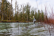 Flooded willows line the shore as Rob Williamson spey casts to winter steelhead. Cowichan River, Vancouver Island, BC