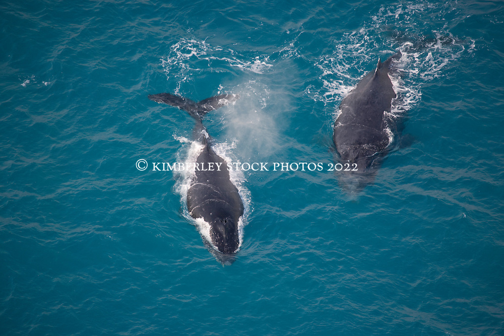 Two whales travelling on the surface off James Price Point on the Kimberley coast.