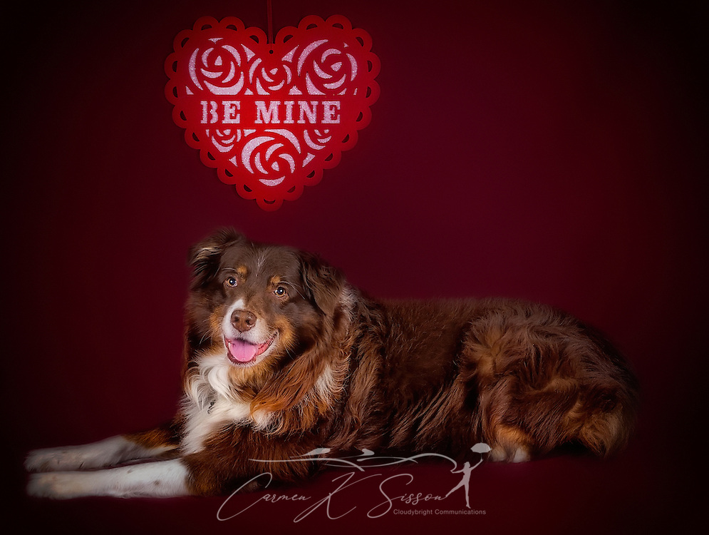 Cowboy, an eight-year-old Australian Shepherd, poses for a Valentine's Day photo, Feb. 13, 2017, in Coden, Alabama. (Photo by Carmen K. Sisson/Cloudybright)