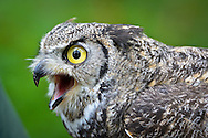 A head shot of the Great Horned Owls (Bubo virginianus) native to North America, Central and South America.