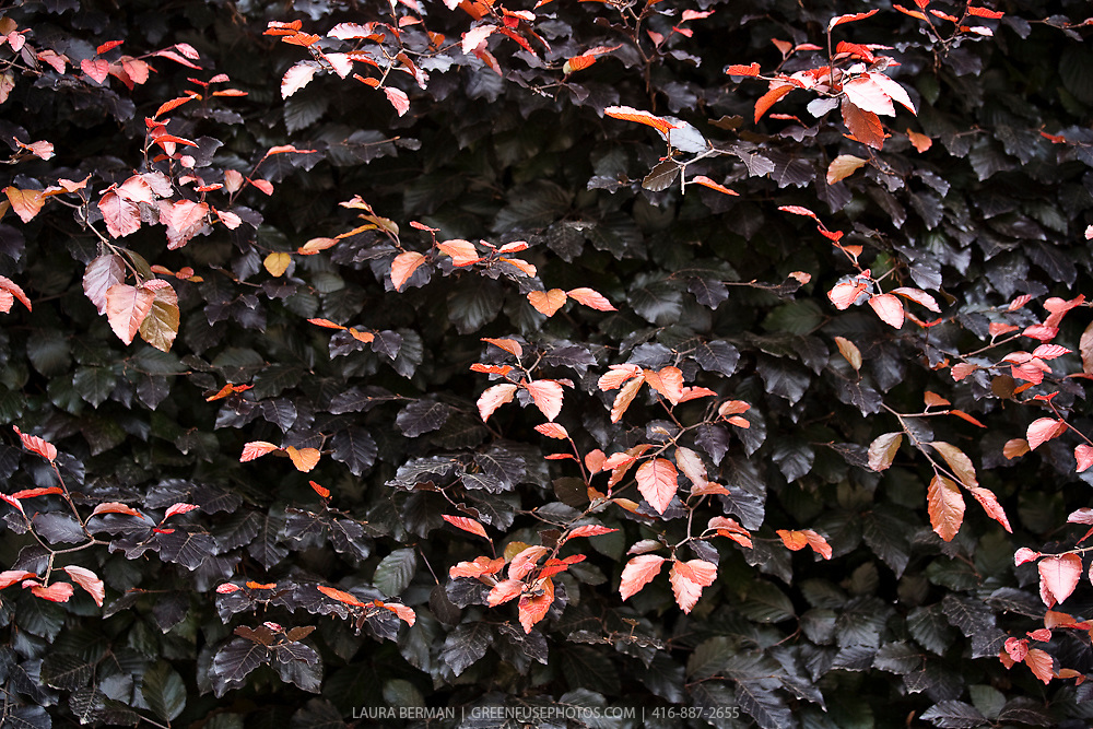 The European Beech or Common Beech (Fagus sylvatica) is a  very popular, deciduous, ornamental tree in parks and large gardens. Copper Beech or Purple Beech (Fagus sylvatica Purpurea Group) - leaves purple, in many selections turning deep spinach green by mid-summer.