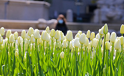 Woman with face mask behind tulipes at the Pulitzer Fountain during the Covid-19 pandemic in New York City, NY, USA on April 22, 2020. The Big Apple neared a painful milestone Wednesday as the death toll from the coronavirus outbreak that has ravaged the five boroughs approached 15,000. The pandemic has claimed the lives of 14,996 New Yorkers, with new 569 fatalities reported in the most recent 24-hour period, according to data from the city's Department of Health. Photo by Charles Guerin/ABACAPRESS.COM