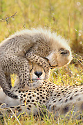 Cheetah<br /> Acinonyx jubatus<br /> 8 week old cub(s) playing on mother's head<br /> Maasai Mara Reserve, Kenya