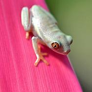 Young Red-Eyed Leaf (Tree) Frog (Agalychnis callidryas).
