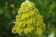 shrubby aenium, Aeonium arboreum L Webb and Berth