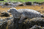 Common Seal or Harbour Seal, Phoca vitulina, adult basking on rocks and seaweed by Dunvegan Loch, Isle of Skye, Western Scotland