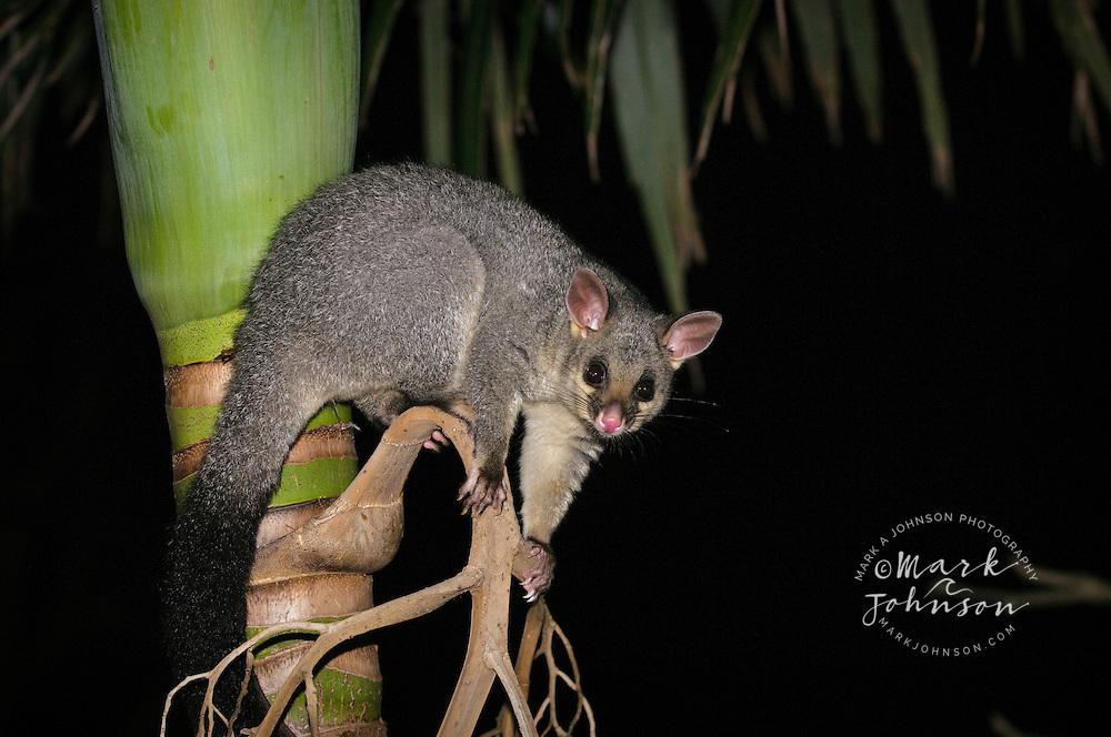 Brush-tailed possum in palm tree, Brisbane, Queensland, Australia